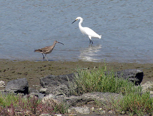 Egret-and-long-billed-curlew 0984.jpg