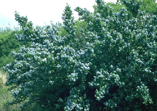 File:Ecology1$blueblossom-ceanothus-closeup.jpg