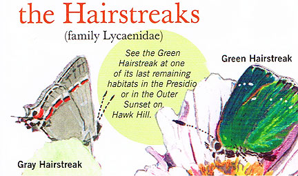 Butterflies hairstreaks.jpg