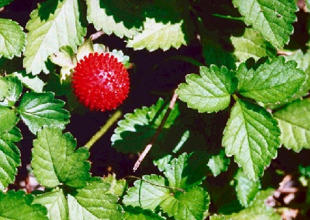 Ecology1$wood-strawberry.jpg