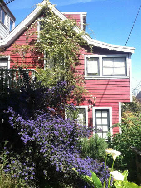 Image:Filbert steps ceanothus blooms bursting.jpg