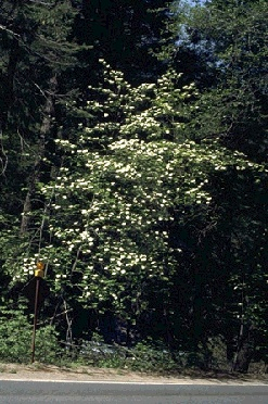 Image:ecology1$botanical-memories-1891$dogwood_itm$pacific-dogwood.jpg