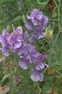 Ecology1$purple-flower.jpg