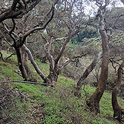 Banner02 Coast-Live-Oaks-on-Lobos-Creek 150px.jpg