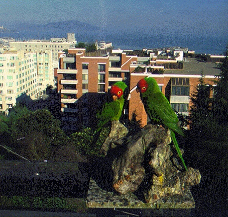 Ecology1$exotics$non-native itm$parrots-on-telegraph-hill.jpg
