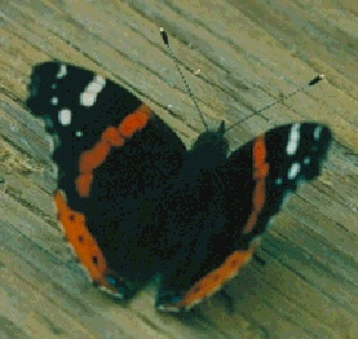 Image:ecology1$red-admiral-butterfly.jpg