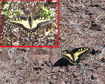 Anise-swallowtail-x2-Twin-Peaks-aug07 6978.jpg