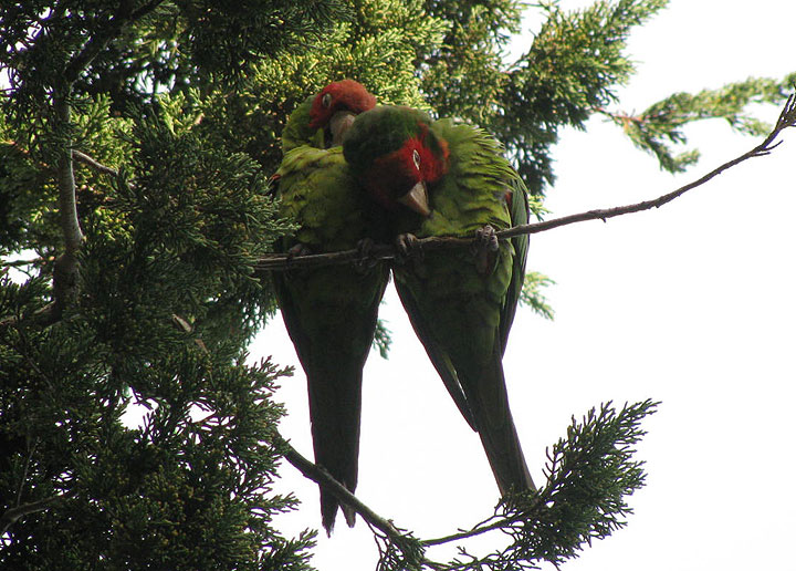 Parrots-on-tree-above-compound 5769.jpg