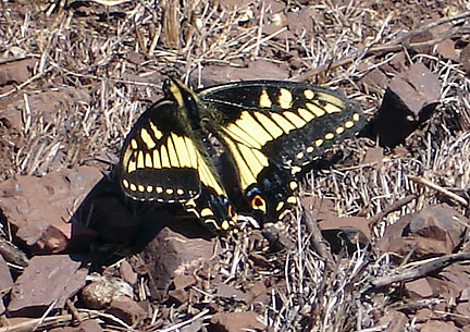 Anise swallowtail-on-Twin-Peaks Aug07 6983.jpg