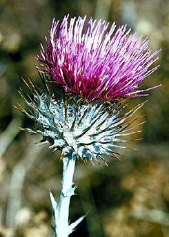 File:Ecology1$native-flora$thistle itm$thistle.jpg