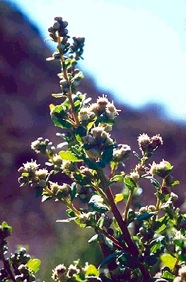 File:Ecology1$native-flora$coyote-bush itm$coyote-bush.jpg