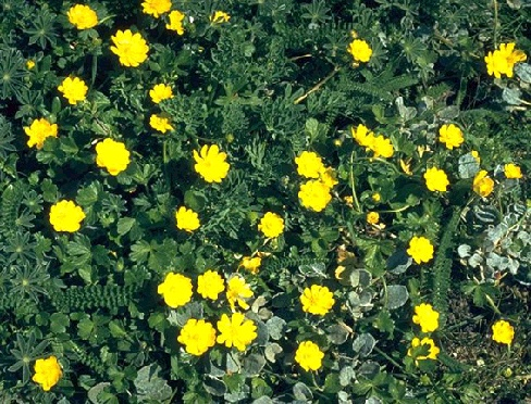 File:Ecology1$california-buttercup.jpg