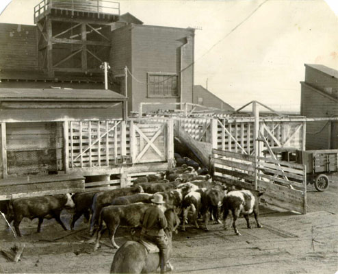 Cattle in Butchertown