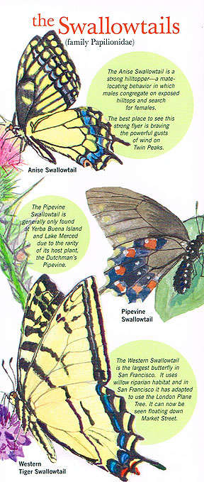 Butterflies swallowtails.jpg