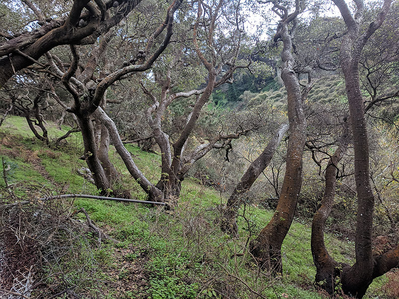 Coast-Live-Oaks-on-Lobos-Creek 20190119 111756.jpg