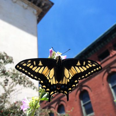 Anise Swallowtail May 2015.jpeg