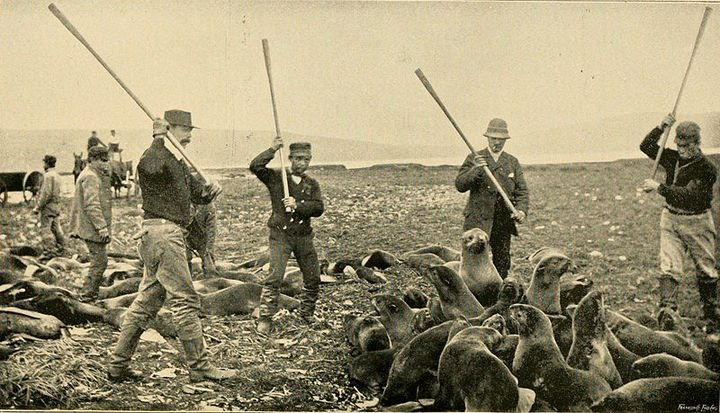 800px-Killing fur seals St Paul Island Alaska 1890s.jpg