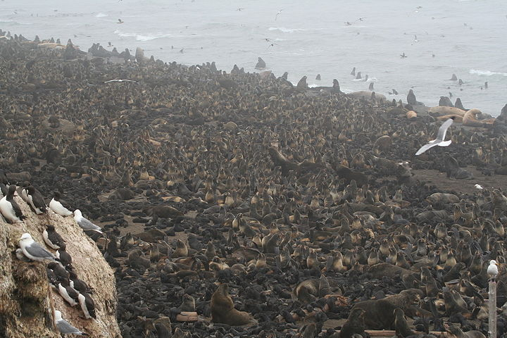 Northern fur seal rookery tuleny by Wldland.jpg