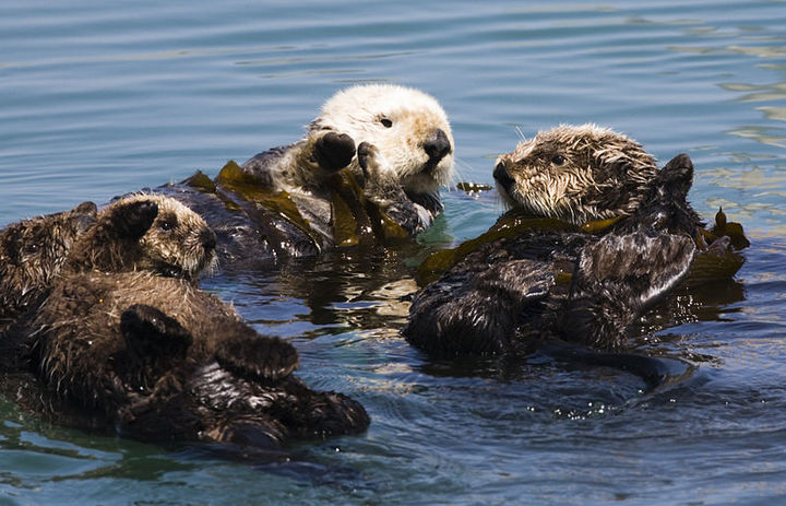800px-Four sea otters Morro Bay CA 2007 Mike Michael L. Baird.JPG